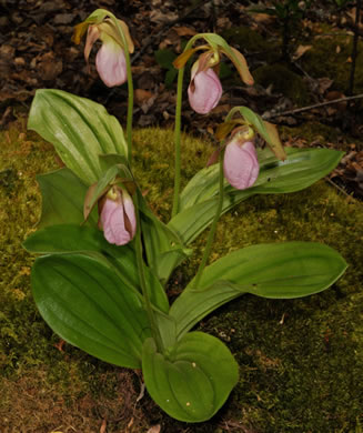 image of Cypripedium acaule, Pink Lady's Slipper, Mocassin Flower