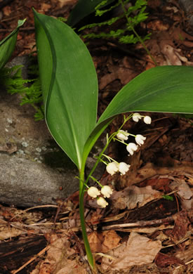 image of Convallaria pseudomajalis, American Lily-of-the-valley