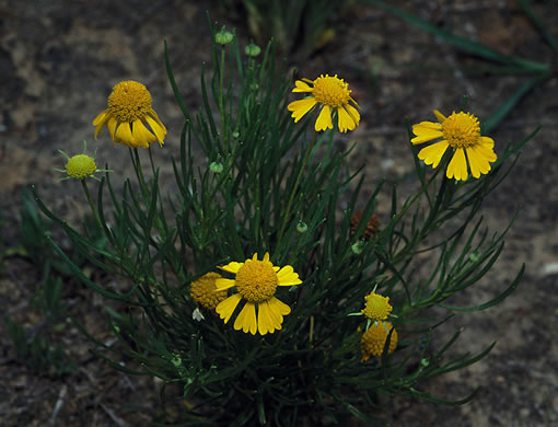 image of Helenium amarum var. amarum, Bitterweed, Yellow Sneezeweed