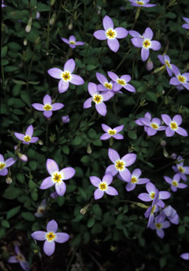 image of Houstonia serpyllifolia, Thymeleaf Bluet, Appalachian Bluet, Prostrate Bluet, Marsh Bluet