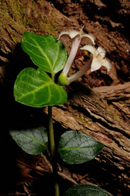 image of Mitchella repens, Partridgeberry, Twinflower