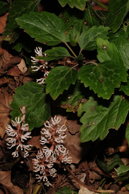 image of Pachysandra procumbens, Allegheny Spurge, Mountain Pachysandra