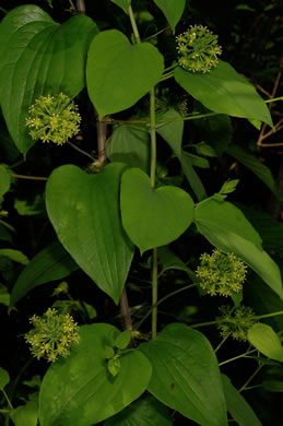 image of Smilax herbacea, Common Carrionflower, Smooth Carrionflower