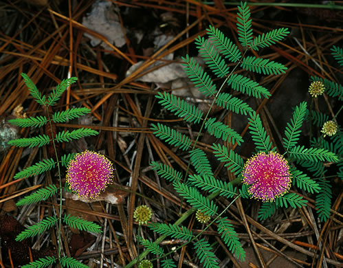 Mimosa microphylla, Eastern Sensitive-briar