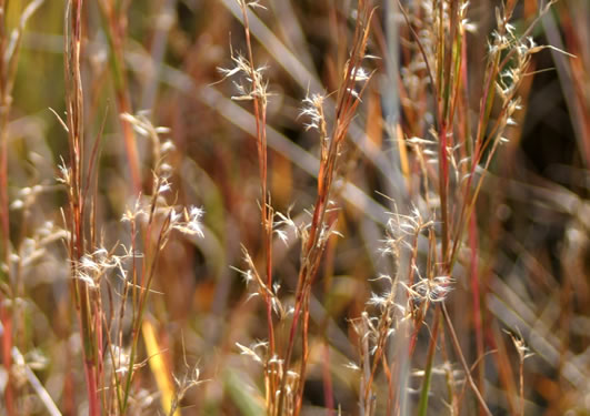 filiform: Schizachyrium scoparium var. scoparium, Little Bluestem