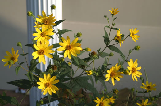 image of Helianthus divaricatus, Woodland Sunflower, Spreading Sunflower