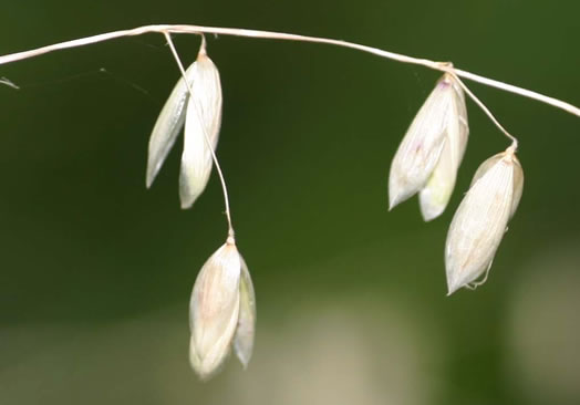 image of Melica mutica, Melic Grass, Two-flower Melic