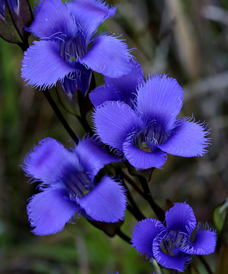 flower of Gentianopsis crinita, Eastern Fringed Gentian