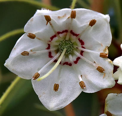flower of Kalmia cuneata, White Wicky