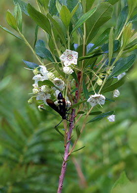 image of Kalmia cuneata