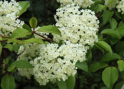 flower of Viburnum prunifolium, Blackhaw, Nannyberry