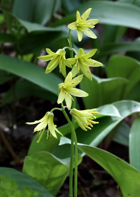 flower of Clintonia borealis, Bluebead-lily, Clinton's Lily, Yellow Clintonia, Yellow Bead Lily