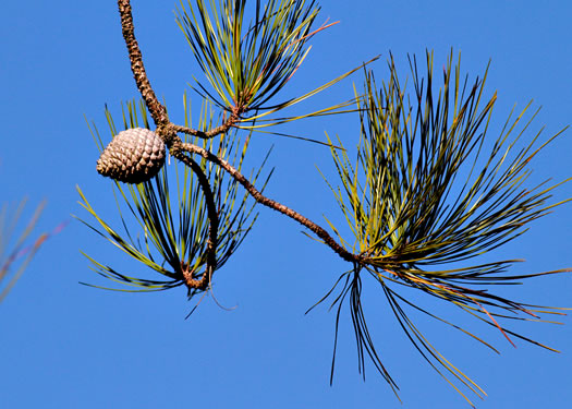leaf or frond of Pinus serotina, Pond Pine, Pocosin Pine, Marsh Pine