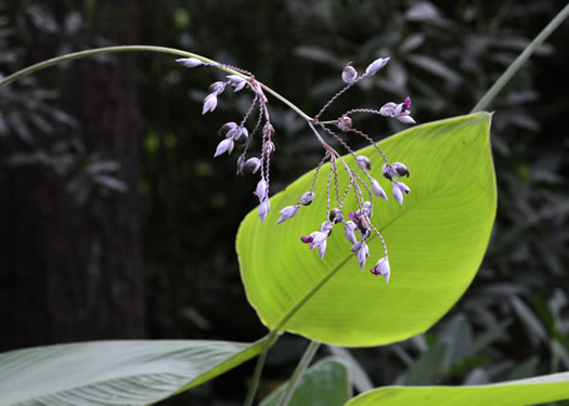 image of Thalia dealbata, Powdery Thalia, Powdery Alligator-flag