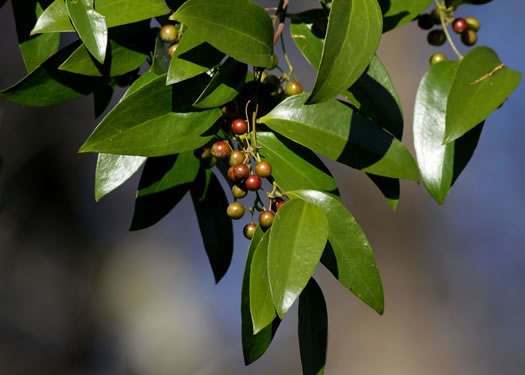 cuneate: Smilax smallii, Sweet-scented Smilax, Unarmed Catbrier, Jackson-brier