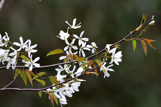 image of Amelanchier laevis, Allegheny Serviceberry, Smooth Serviceberry