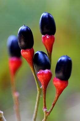 Namethatplant Net Sassafras Albidum
