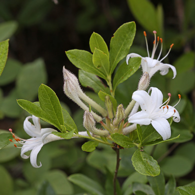 image of Rhododendron viscosum +, Swamp Azalea, Clammy Azalea, Swamp Honeysuckle, Catch-fly Azalea