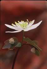 picture of Thalictrum thalictroides, image of Thalictrum thalictroides, photograph of Thalictrum thalictroides