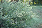picture of Artemisia vulgaris, image of Artemisia vulgaris var. vulgaris, photograph of Artemisia vulgaris