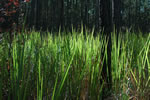 picture of Imperata cylindrica, image of Imperata cylindrica, photograph of -