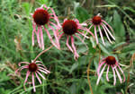 Smooth Purple Coneflower