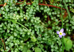 Thyme-leaved Bluet