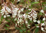 picture of Vicia caroliniana, image of Vicia caroliniana, photograph of Vicia caroliniana