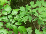 picture of Actaea racemosa, image of Actaea racemosa +, photograph of Cimicifuga racemosa