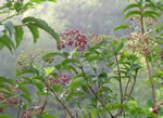 picture of Sambucus canadensis, image of Sambucus nigra ssp. canadensis, photograph of Sambucus canadensis