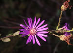 picture of Symphyotrichum georgianum, image of Symphyotrichum georgianum, photograph of Aster patens