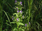 picture of Trichostema dichotomum, image of Trichostema dichotomum, photograph of Trichostema dichotomum