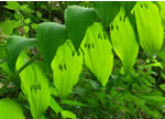 picture of Polygonatum biflorum +, image of Polygonatum biflorum var. commutatum, photograph of Polygonatum biflorum