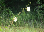 picture of Hibiscus aculeatus, image of Hibiscus aculeatus, photograph of Hibiscus aculeatus
