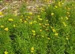 picture of Coreopsis grandiflora var. grandiflora, image of Coreopsis grandiflora var. grandiflora, photograph of Coreopsis grandiflora