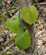 picture of Isotrema macrophyllum, image of Aristolochia macrophylla, photograph of Aristolochia macrophylla