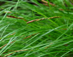 picture of Carex misera, image of Carex misera, photograph of Carex misera