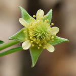 picture of Geum virginianum, image of Geum virginianum, photograph of Geum virginianum