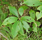 picture of Symplocos tinctoria, image of Symplocos tinctoria, photograph of Symplocos tinctoria