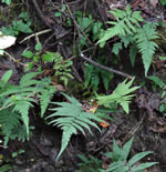 picture of Deparia acrostichoides, image of Deparia acrostichoides, photograph of Athyrium thelypterioides