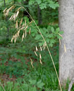 picture of Bromus catharticus var. catharticus, image of Bromus catharticus, photograph of Bromus catharticus