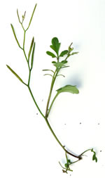 picture of Cardamine flexuosa, image of Cardamine flexuosa, photograph of Cardamine flexuosa