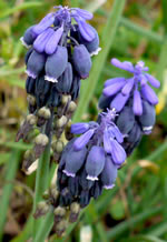 flower of Muscari neglectum, Muscari neglectum, Muscari racemosum