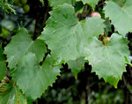 picture of Muscadinia rotundifolia var. rotundifolia, image of Vitis rotundifolia var. rotundifolia, photograph of Vitis rotundifolia