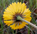 picture of Helenium vernale, image of Helenium vernale, photograph of Helenium vernale