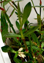 picture of Alternanthera philoxeroides, image of Alternanthera philoxeroides, photograph of Alternanthera philoxeroides