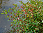 picture of Hypericum walteri, image of Triadenum walteri, photograph of Hypericum walteri
