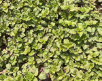picture of Clinopodium gracile, image of Clinopodium gracile, photograph of -