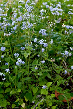 picture of Ageratum houstonianum, image of Ageratum houstonianum, photograph of -