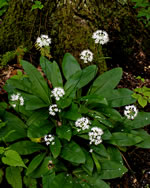 picture of Clintonia umbellulata, image of Clintonia umbellulata, photograph of Clintonia umbellulata